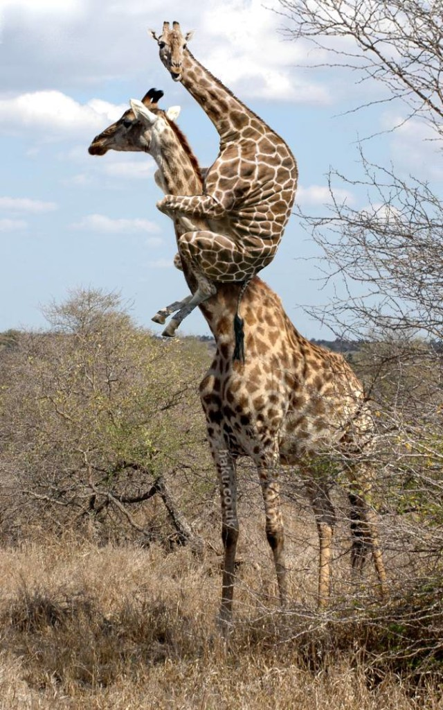 Wow giraffes pictures
