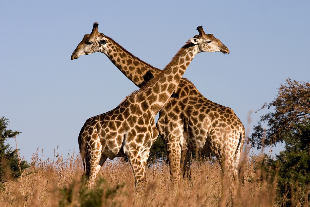 Couple giraffes pictures