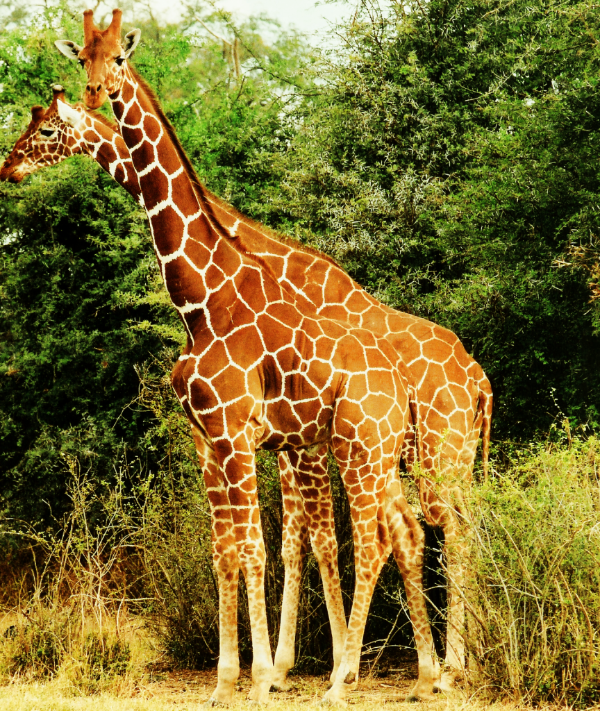 Colorful giraffes pictures