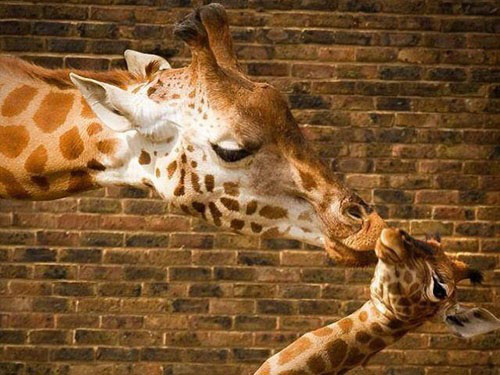 Loving pictures of giraffes