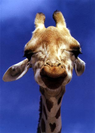 Cool pictures of giraffes
