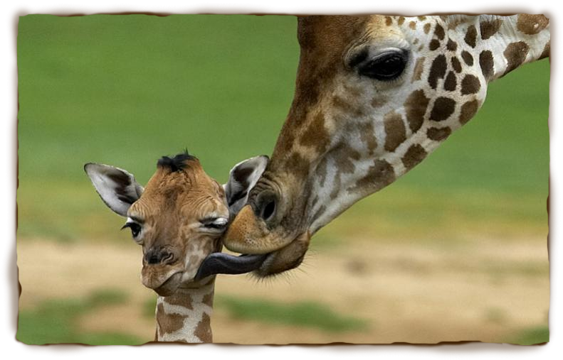 In Love pictures of giraffes