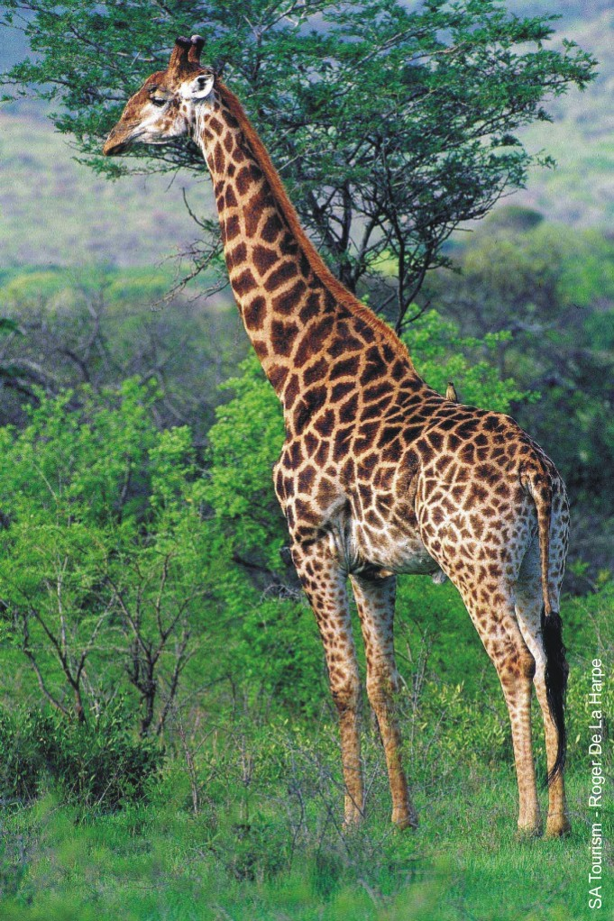 Smart pictures of giraffes