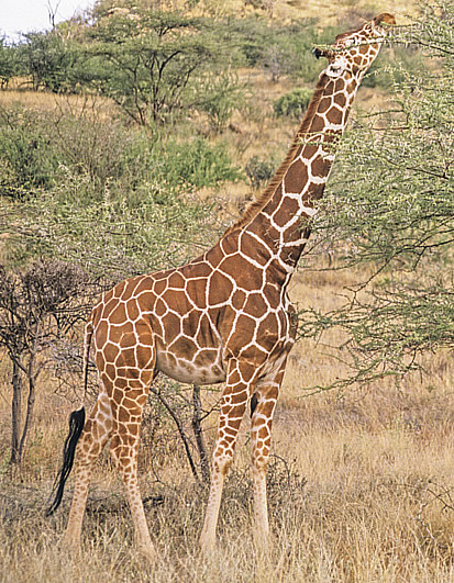hot pictures of giraffes