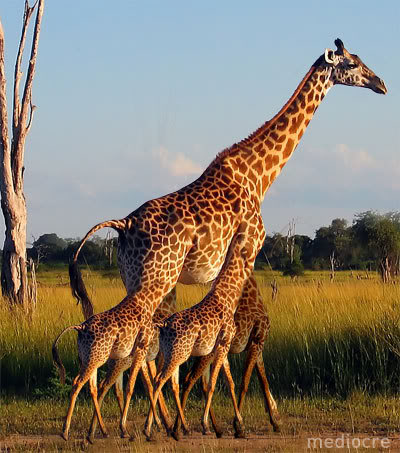 Family giraffes pictures