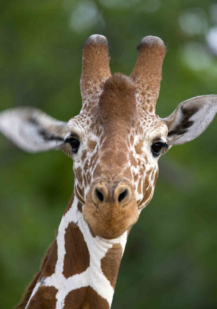 Decent giraffes pictures